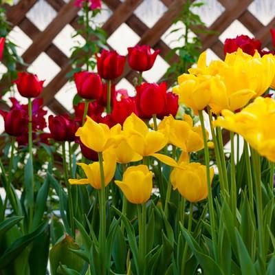 「赤と黄色のチューリップ」の写真素材