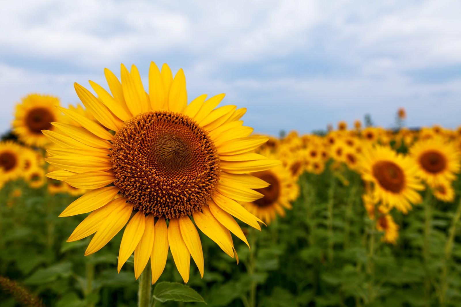 「向日葵畑」の写真