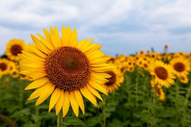 向日葵畑の写真