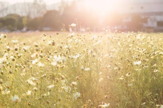 オレンジ色の夕陽と白いコスモスの花の写真