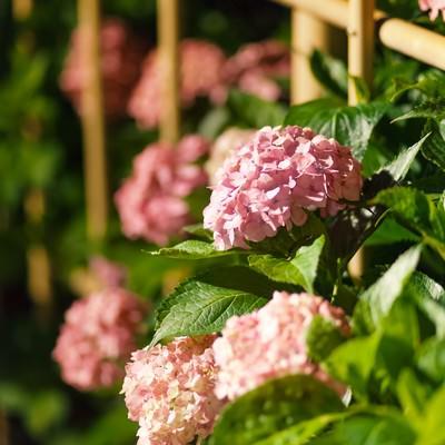 ピンク色のアジサイの写真