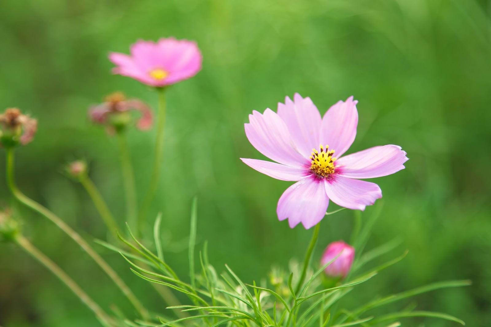 「ピンク色のコスモス」の写真