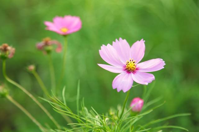 ピンク色のコスモスの写真