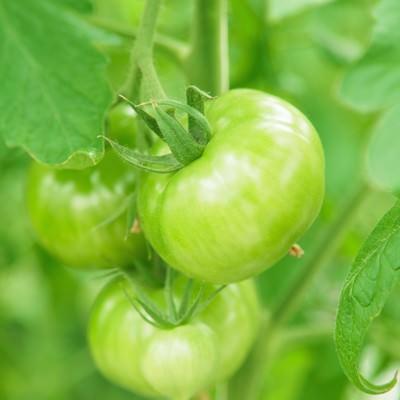 「実が青いトマト」の写真素材