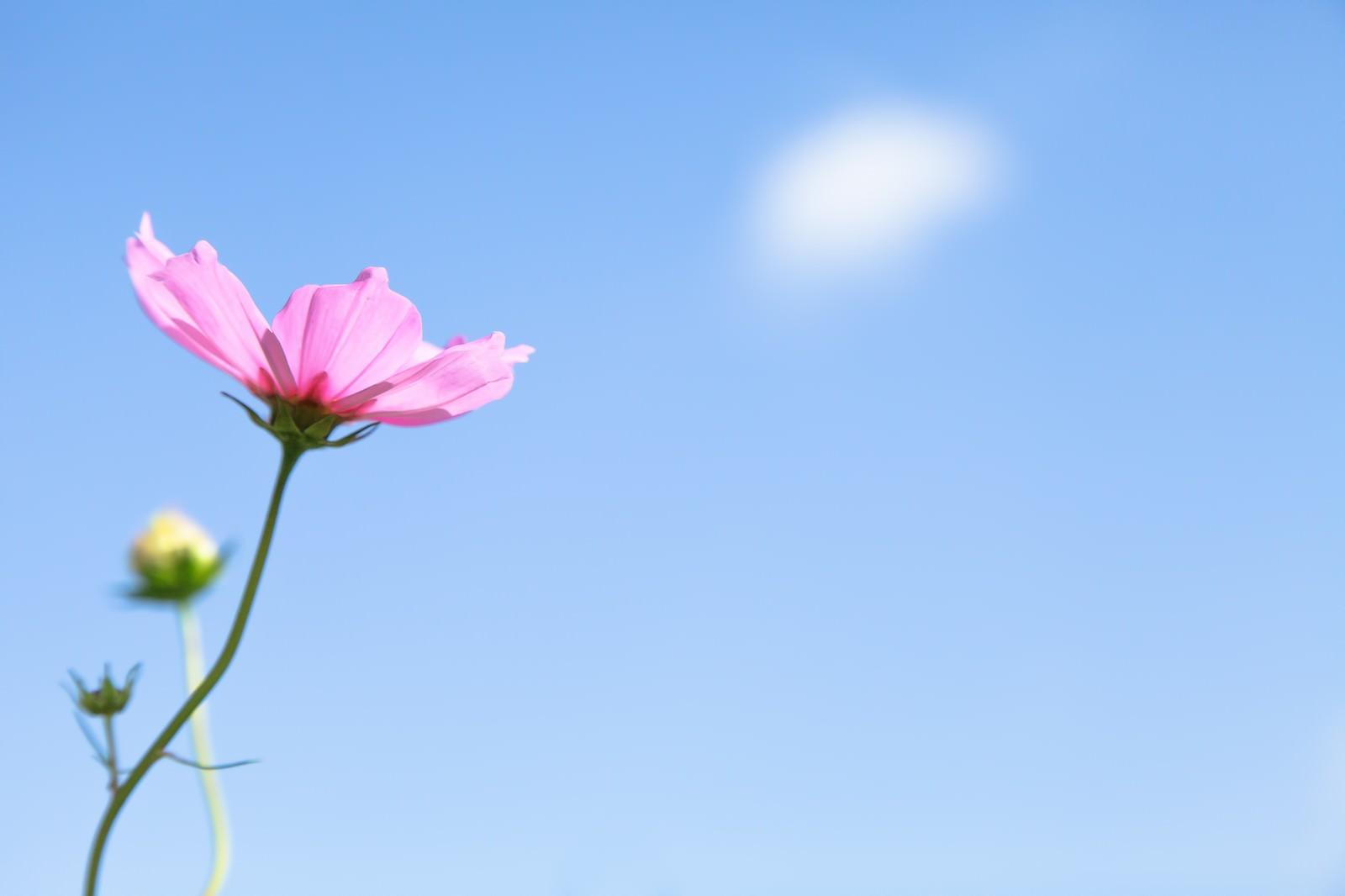 「コスモスと青空 | 写真の無料素材・フリー素材 - ぱくたそ」の写真