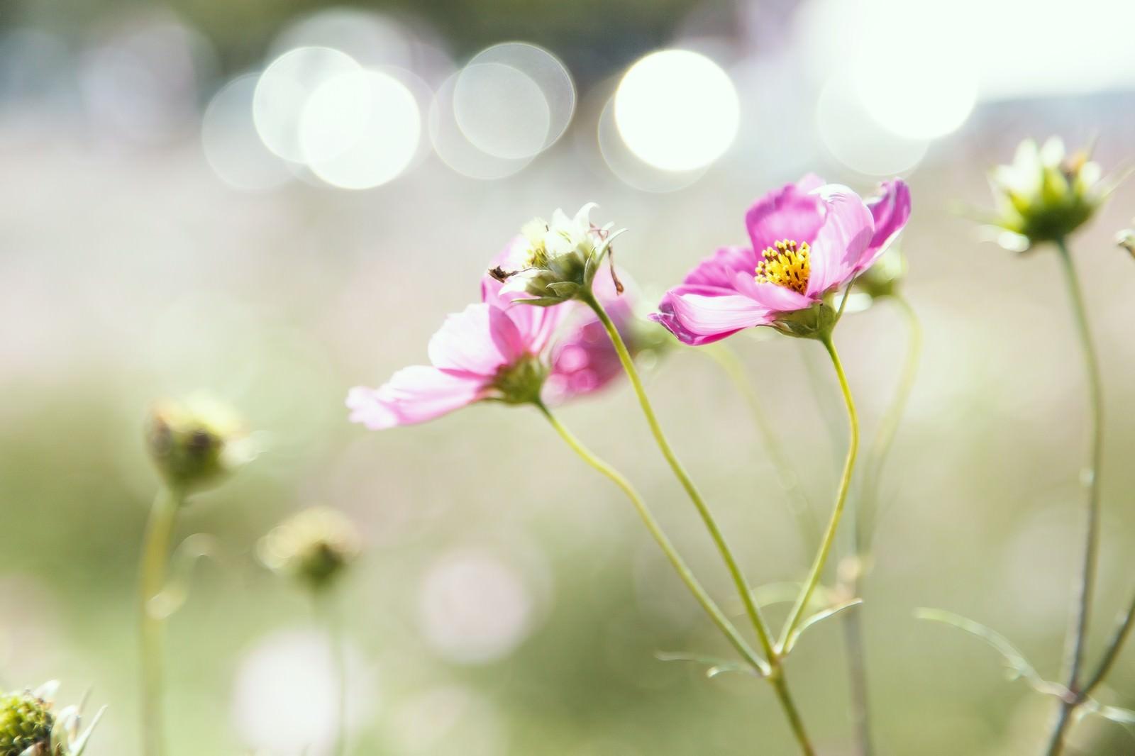 「コスモスと光コスモスと光」のフリー写真素材を拡大