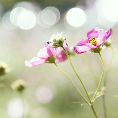 「コスモスと光」の写真素材