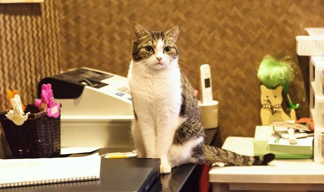 レジカウンターで店番猫の写真