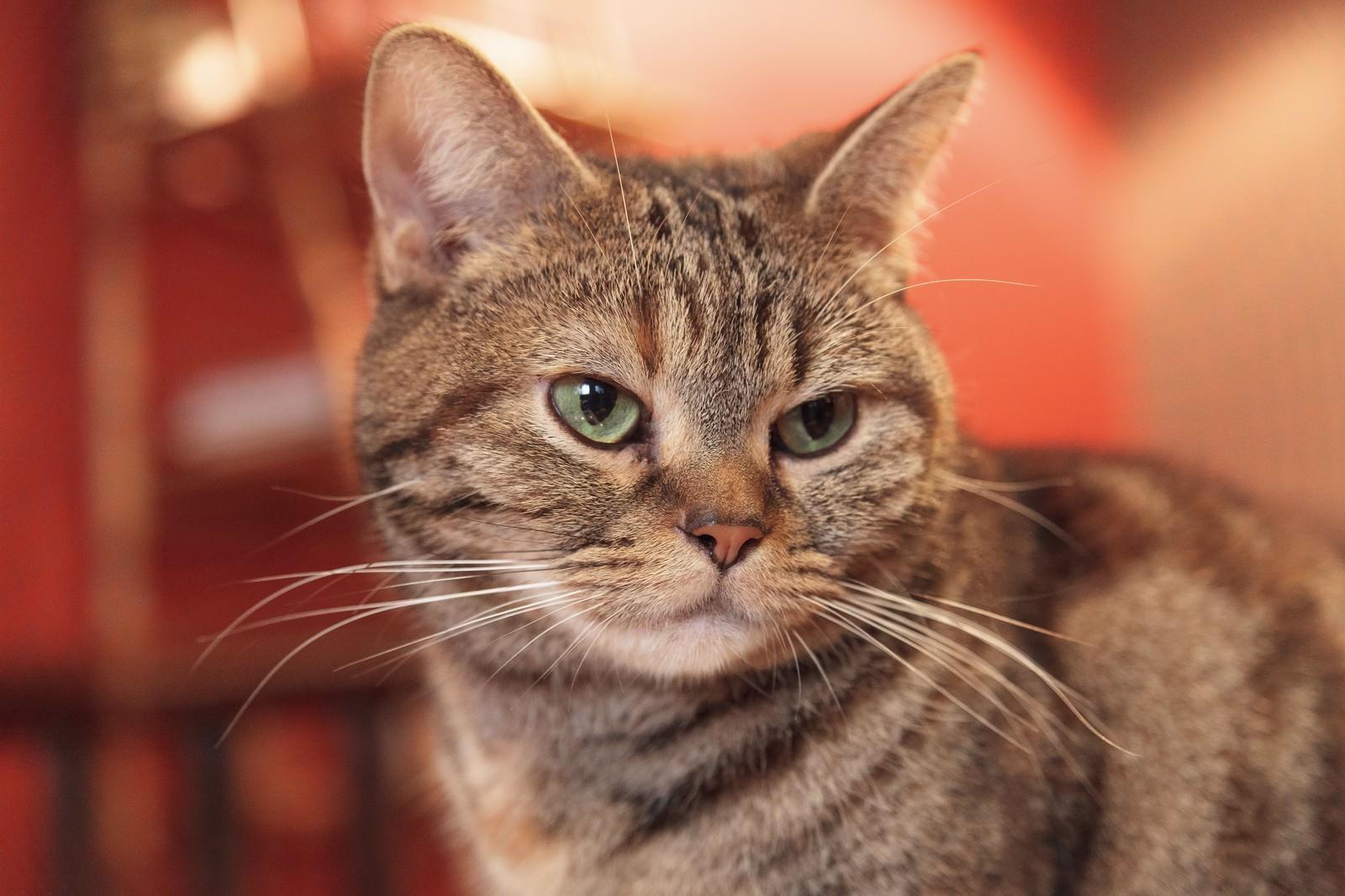 「猫カフェの猫ちゃん」の写真