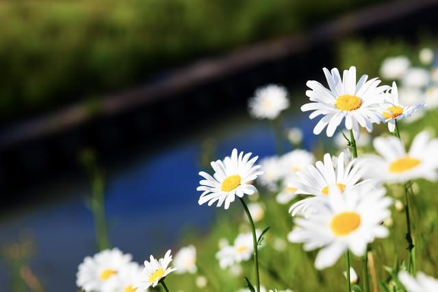 川辺に咲くマーガレットの写真