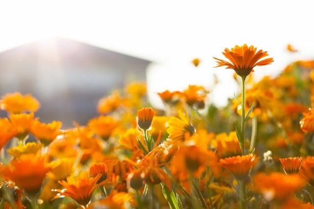 夕日に照らされるオレンジ色のマーガレットの写真