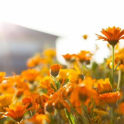 「夕日に照らされるオレンジ色のマーガレット」の写真素材