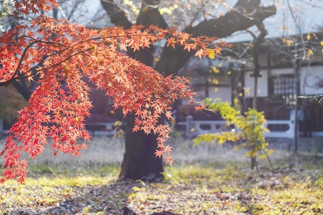 光を浴びて輝く黄葉の写真
