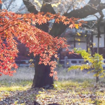 「光を浴びて輝く紅葉」の写真素材