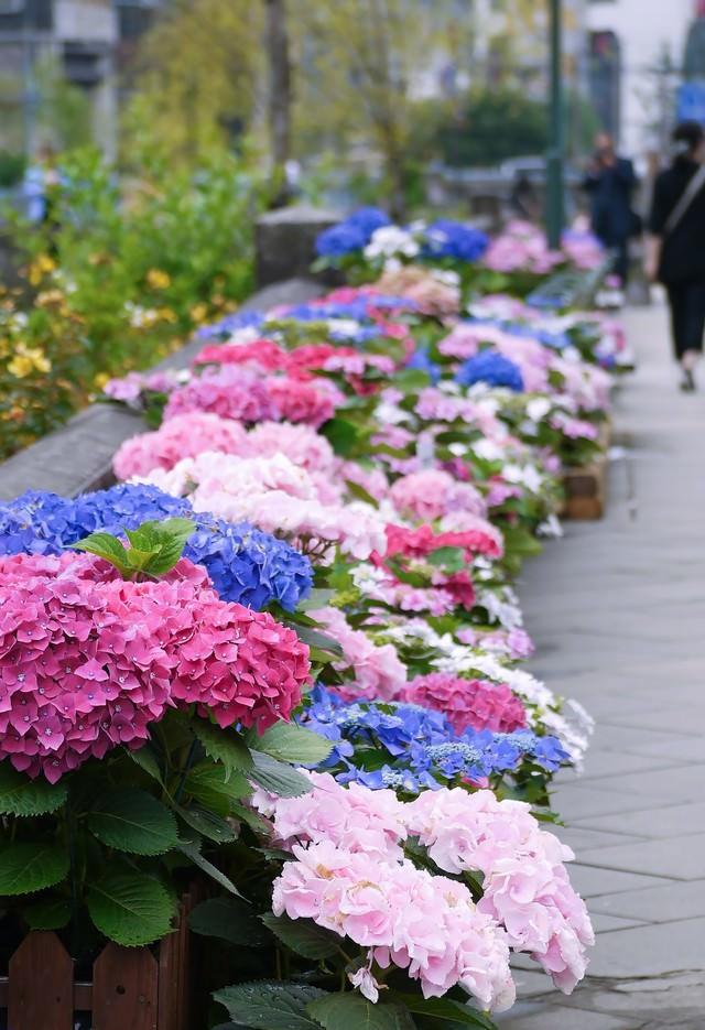 道端に咲いた紫陽花の写真