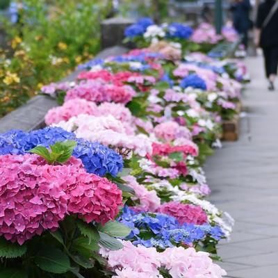 「道端に咲いた紫陽花」の写真素材