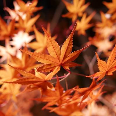 「燃えるような紅葉」の写真素材