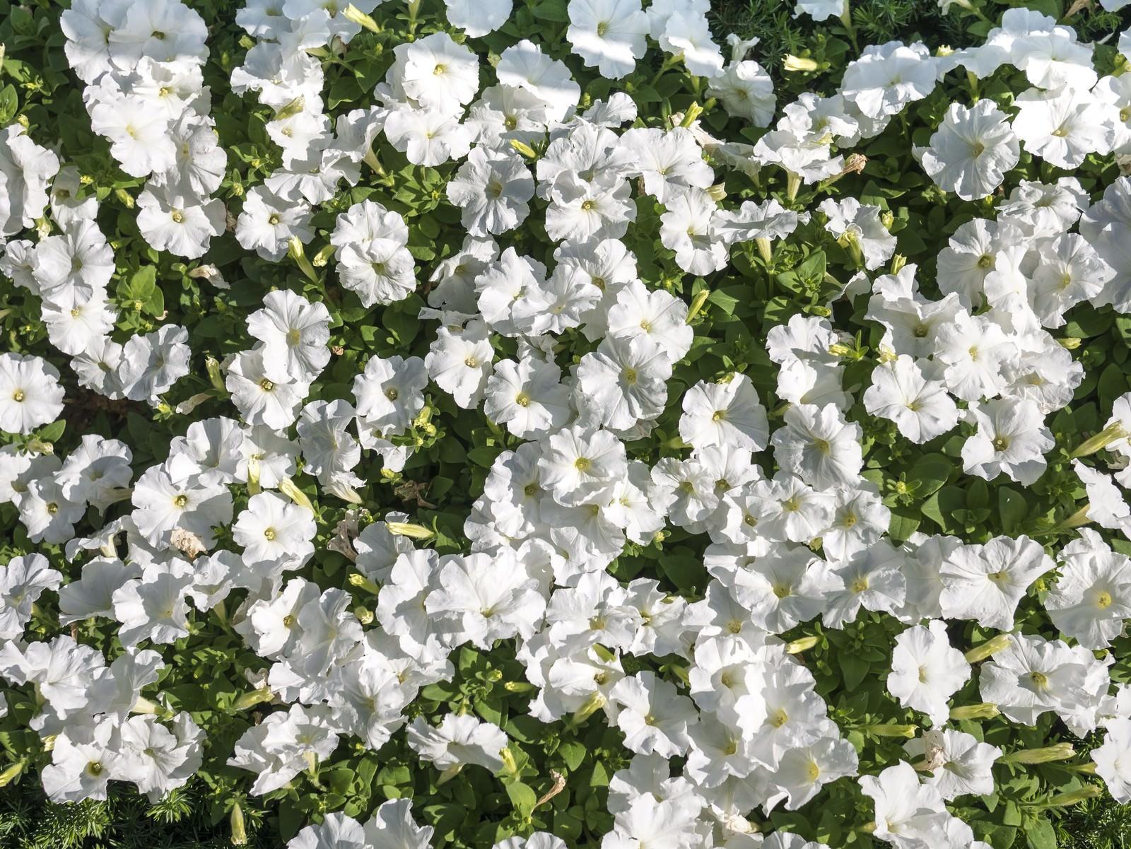 「ペチュニアの花壇」の写真