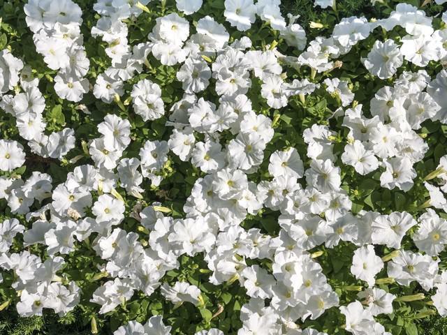 ペチュニアの花壇の写真