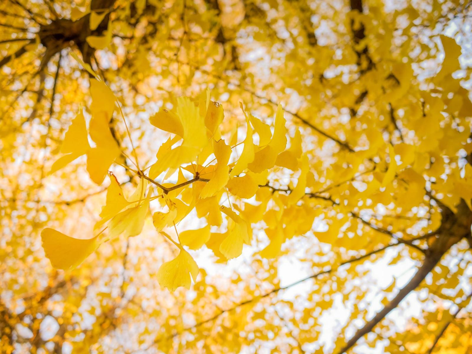 「黄葉した銀杏」の写真