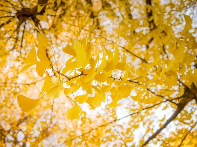 黄葉した銀杏の写真