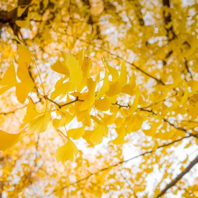 「黄色く紅葉した銀杏」の写真素材