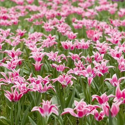 「ピンクのチューリップ」の写真素材