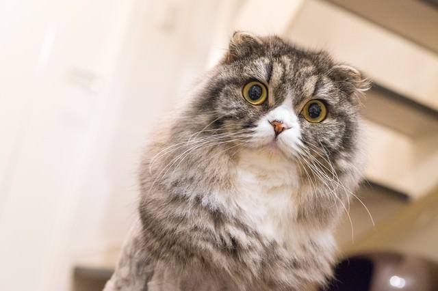 ジーっとこっちを見てるライオンカットのオス猫(スコティッシュフォールド)の写真