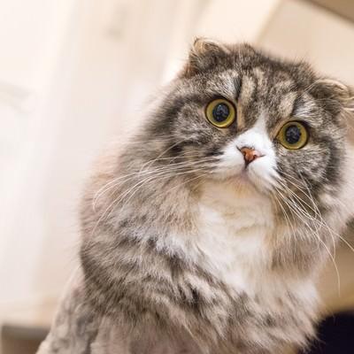 「ジーっとこっちを見てるライオンカットのオス猫(スコティッシュフォールド)」の写真素材