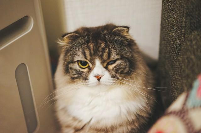 片目で睨みつけるオス猫(スコティッシュフォールド)の写真