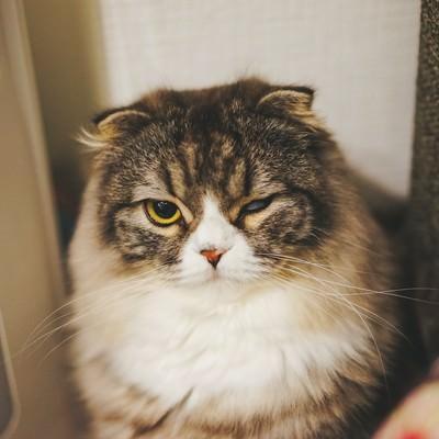 「片目で睨みつけるオス猫(スコティッシュフォールド)」の写真素材