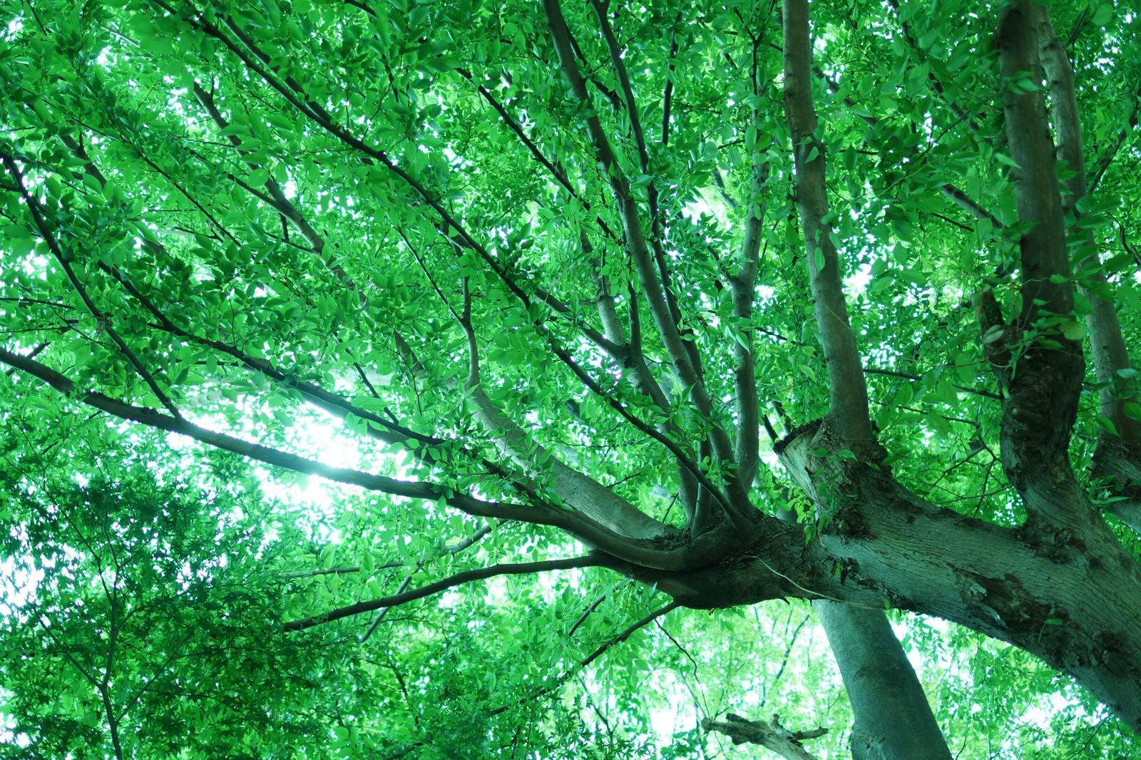 「下から見た緑の木下から見た緑の木」のフリー写真素材を拡大