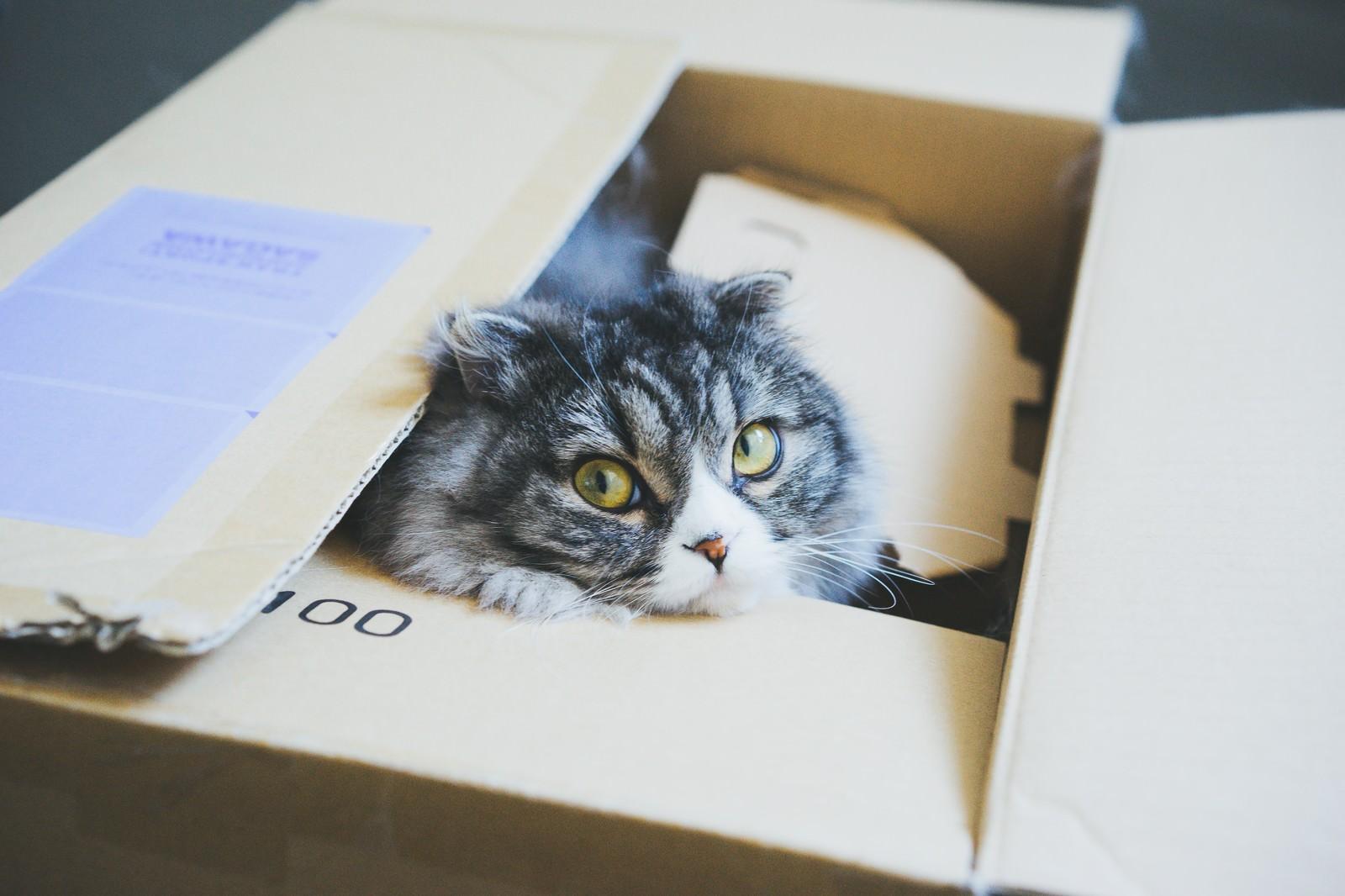 「ダンボールから顔を出す猫(スコティッシュフォールド)ダンボールから顔を出す猫(スコティッシュフォールド)」のフリー写真素材を拡大