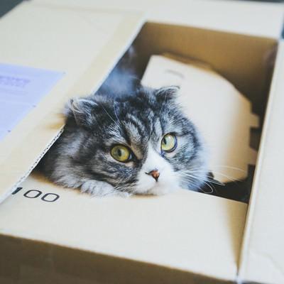 「ダンボールから顔を出す猫(スコティッシュフォールド)」の写真素材