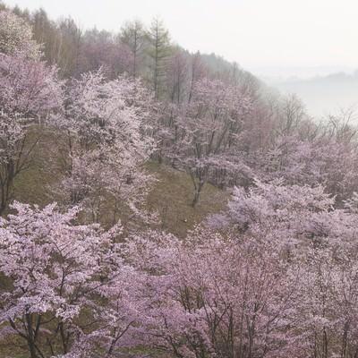 北海道の桜(満開)の写真