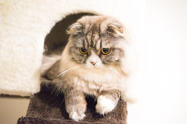 下を向いてるオス猫(スコティッシュフォールド)の写真