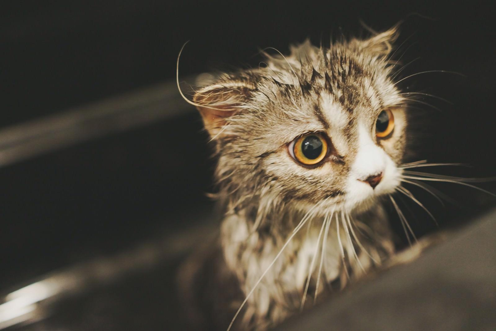 「シャワーから出たがるオス猫(スコティッシュフォールド)」の写真