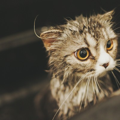 「シャワーから出たがるオス猫(スコティッシュフォールド)」の写真素材
