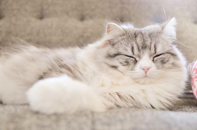 ソファーで寝てるメス猫(スコティッシュフォールド)の写真