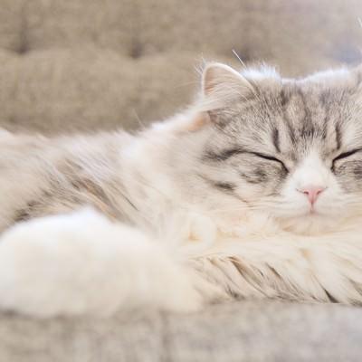 「ソファーで寝てるメス猫(スコティッシュフォールド)」の写真素材