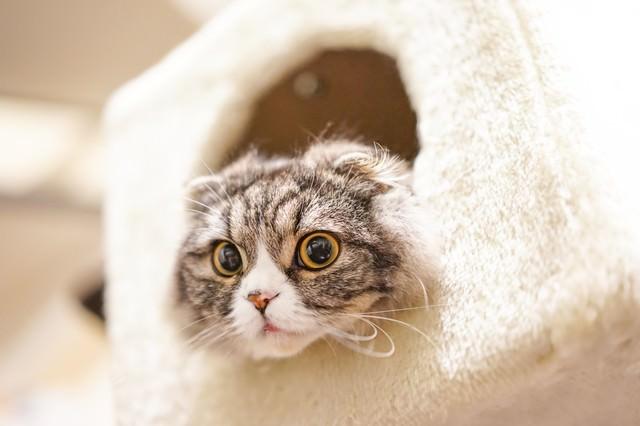 ボックスから顔だけだして下を見ているオス猫(スコティッシュフォールド)の写真