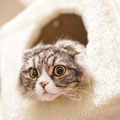 「ボックスから顔だけだして下を見ているオス猫(スコティッシュフォールド)」の写真素材
