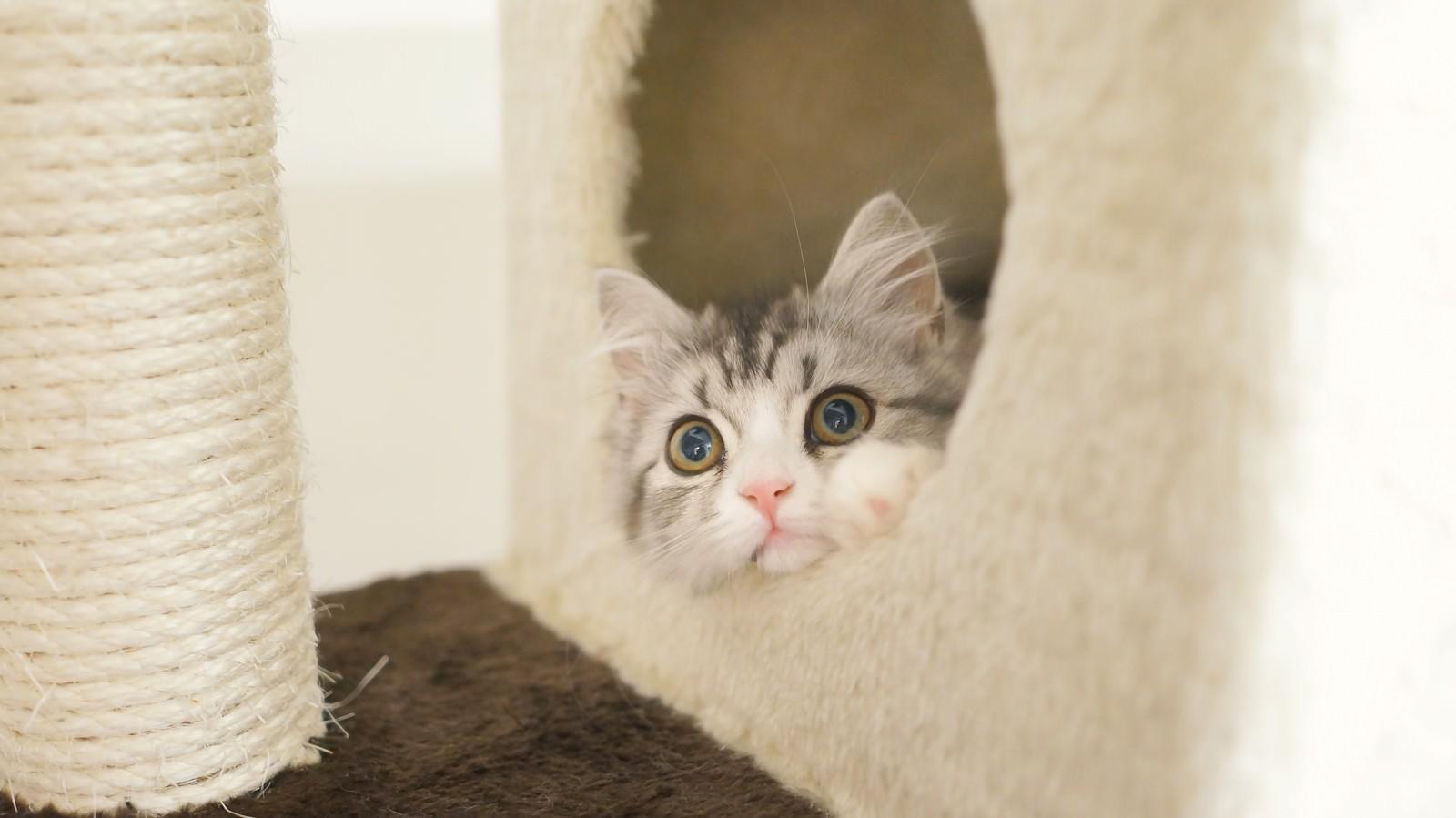 「猫タワーから顔を出す(スコティッシュフォールド)猫タワーから顔を出す(スコティッシュフォールド)」のフリー写真素材を拡大