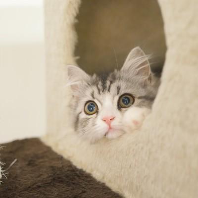 「猫タワーから顔を出す(スコティッシュフォールド)」の写真素材