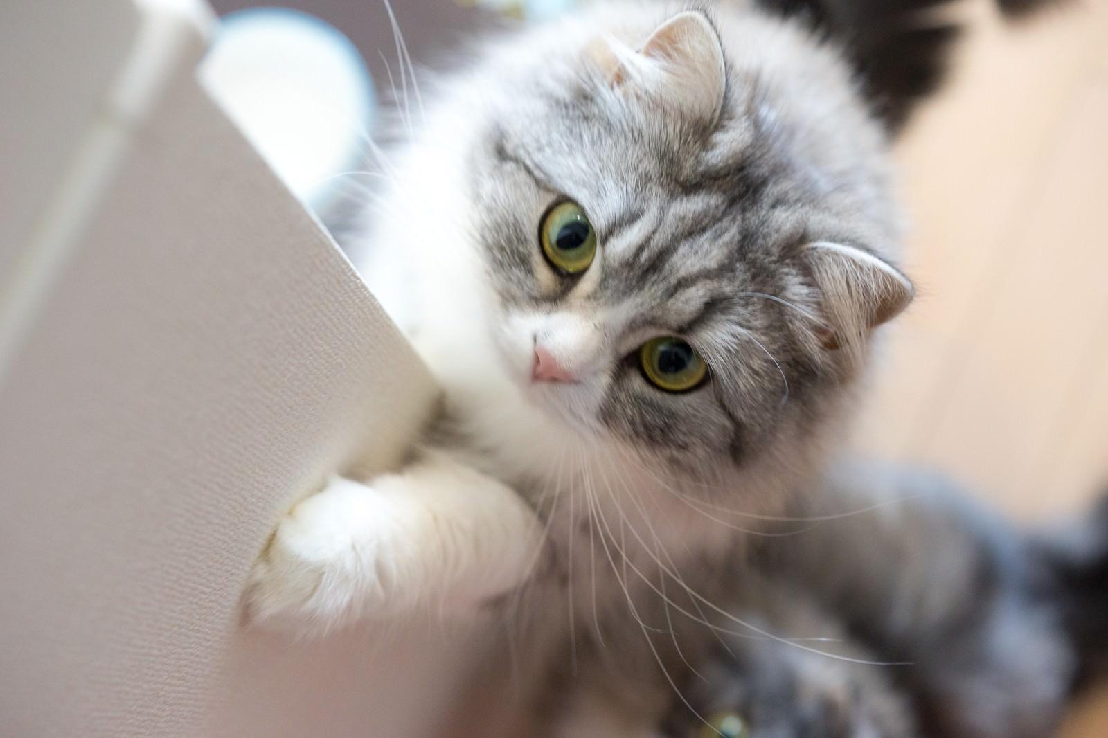 「ご飯をご飯をくださいにゃ!って感じのメス猫(スコティッシュフォールド)ご飯をご飯をくださいにゃ!って感じのメス猫(スコティッシュフォールド)」のフリー写真素材を拡大