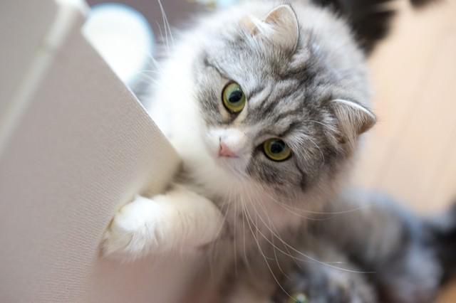 ご飯をご飯をくださいにゃ!って感じのメス猫(スコティッシュフォールド)の写真
