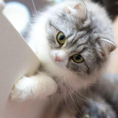 「ご飯をご飯をくださいにゃ!って感じのメス猫(スコティッシュフォールド)」の写真素材
