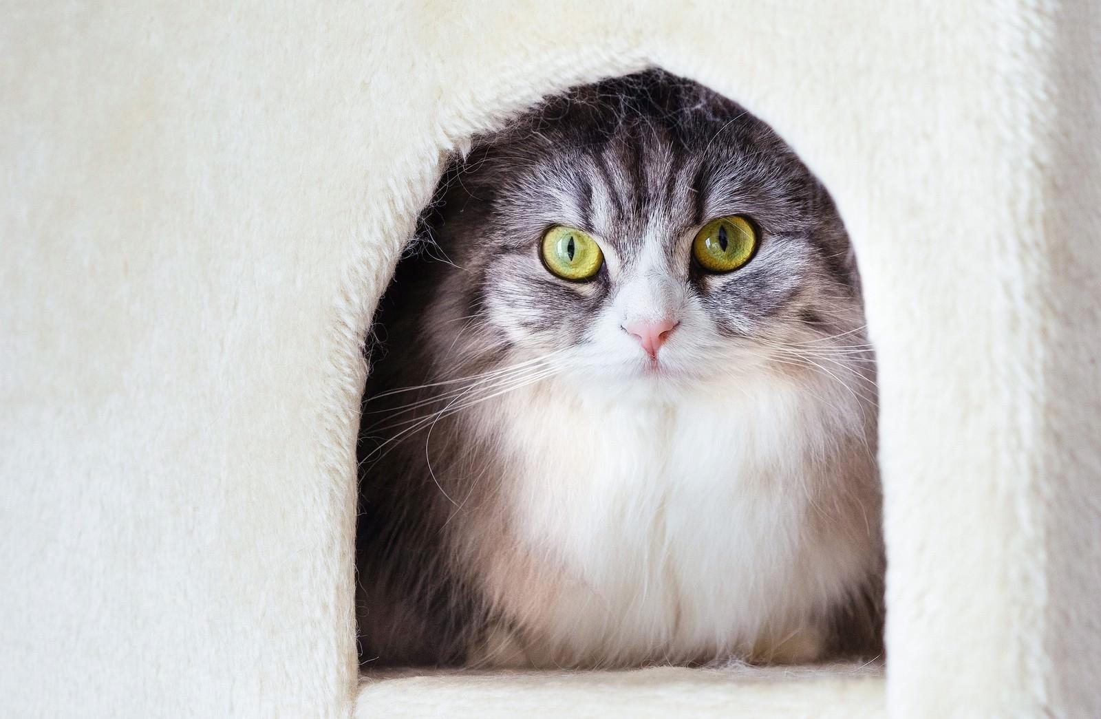 「猫タワーのボックスからこっちを見つめるメス猫(スコティッシュフォールド)」の写真