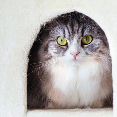 猫タワーのボックスからこっちを見つめるメス猫(スコティッシュフォールド)の写真