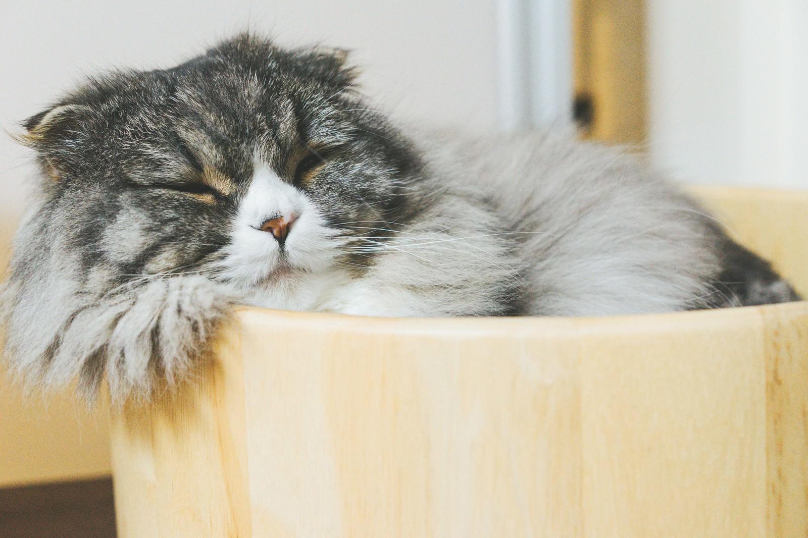 「猫桶で気持ちよさそうに寝てるオス猫(スコティッシュフォールド)」の写真